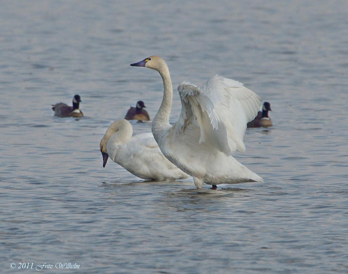 Tundra SwansTundra Birds