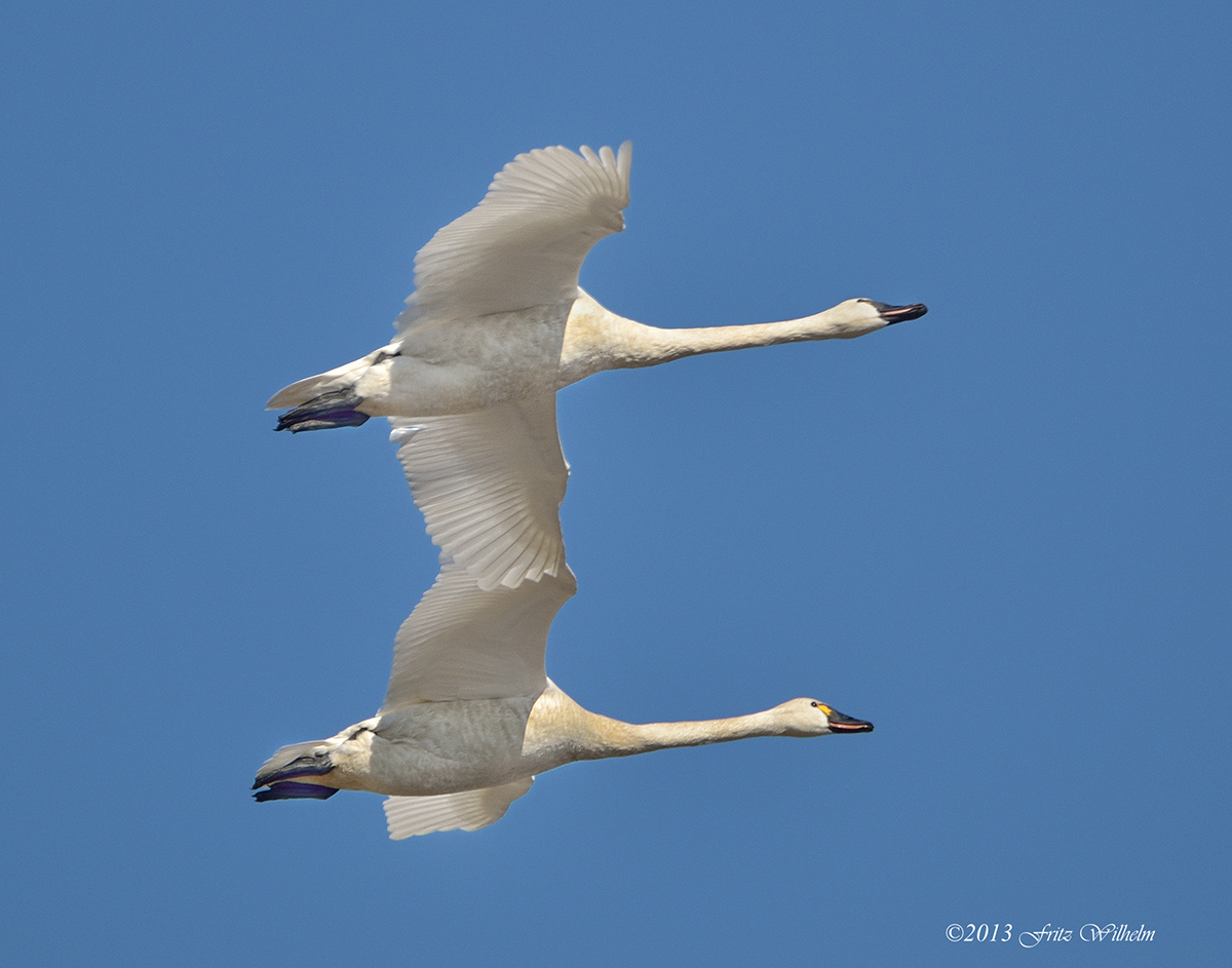 adult and young tundra swans adult and young tundra swansTundra Birds