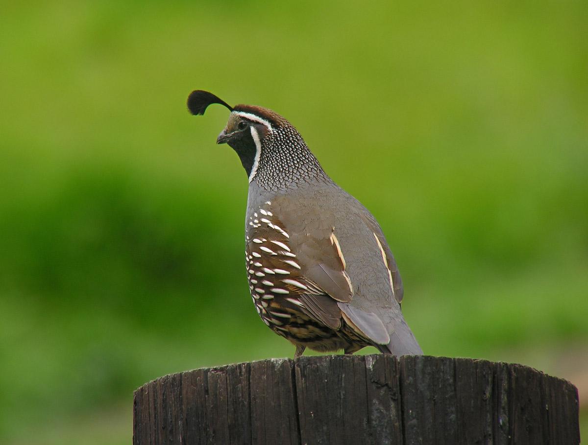 quails - photo #31